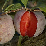dapple dandy pluot.jpg
