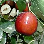 li jujube fruit