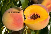 peach-Summerset.jpg