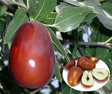 lang jujube fruit