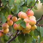 Cot-n-Candy White Aprium.jpg