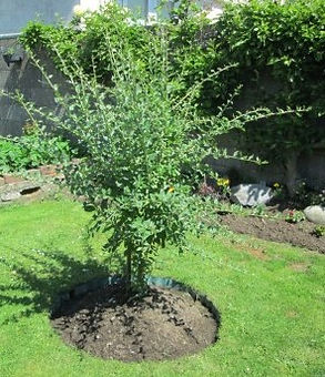goji berry sapling