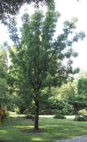 lang jujube tree