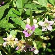 flowers of the goji berry