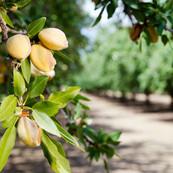 Almond Orchard.jpeg