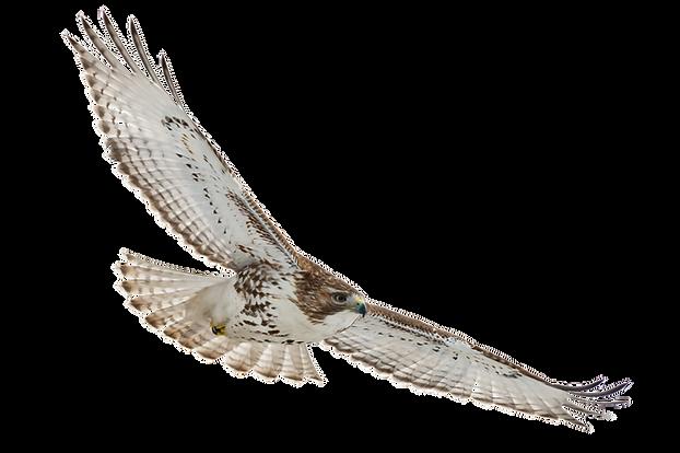 Trans Hawk.png