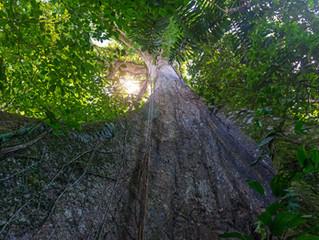 The Grandmother Tree