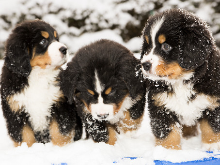 Puppy Culture Essentials Play list For Puppy Owners