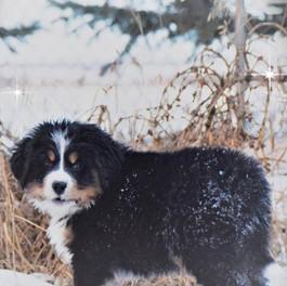 Frankie.assay litter.8 weeks