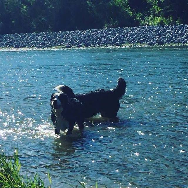 Summer fun in Red Deer river #dogsofinstagram  #bernesemountaindog #bowerponds