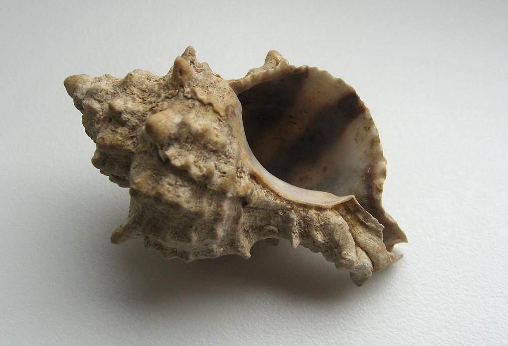 חלזון ארגמון קהה-קוצים (Hexaplex_trunculus)