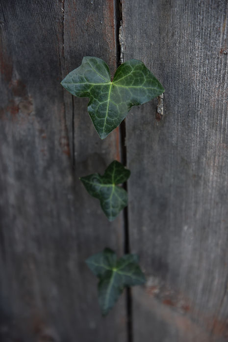 Ivy growing in a crack in Honfleur, France