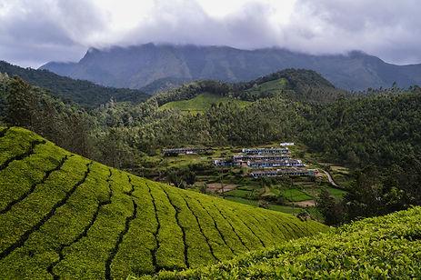Tea plantations in Kerala, India