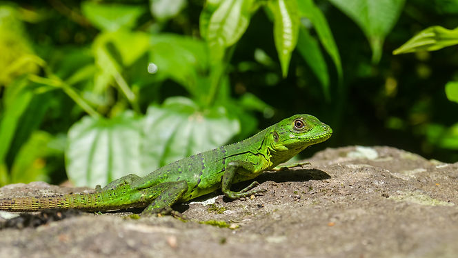 Green lizzard sitting on a stone in Nicaragua