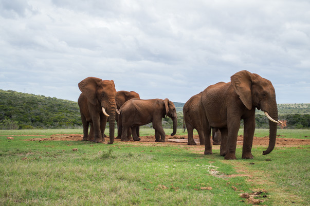 Addo Elephant Park / South Africa