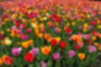 Tulips in spring at the botanical garden in Montreal