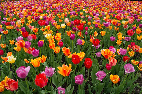 Tulips at the Botanical Garden in Montreal, Canada