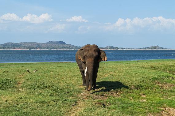 Elephant with one tusk in Minneriya National Park, Sri Lanka