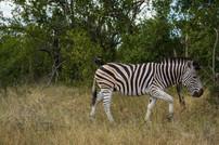 Krüger National Park / South Africa