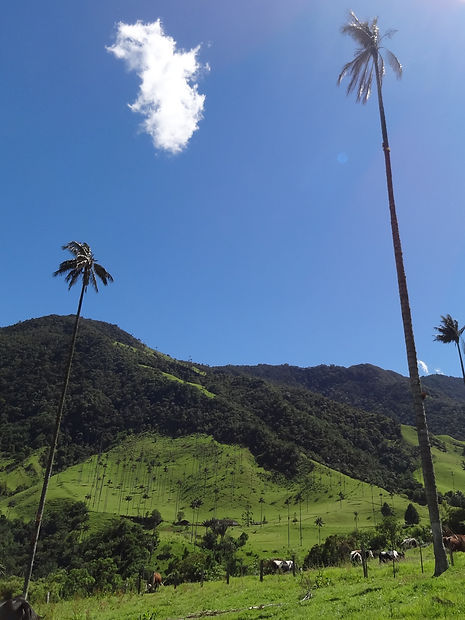 The world's tallest palm trees at Valle de Cocora in Colombia