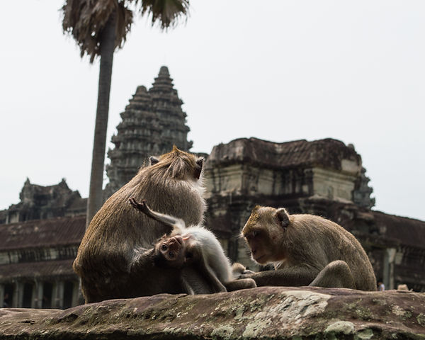 Monkey at Angkor Wat temple in Cambodia