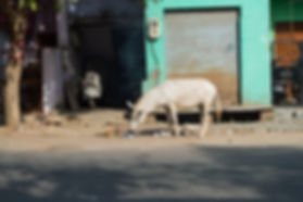 donkey in the streets of Agra, India