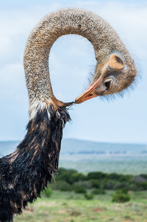 Ostrich with bent neck at Addo Elephant Park in South Africa
