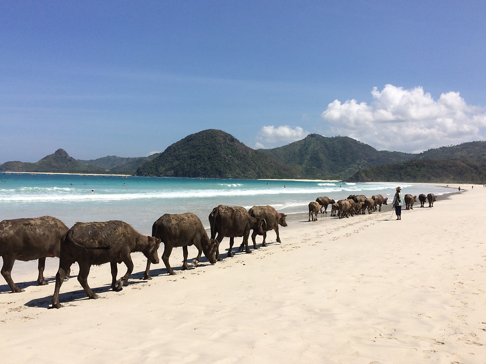 Pantai Selong Belanak berada di Lombok Selatan, pantai dengan hamparan pasir putih dan terbaik di Lombok, yang memiliki keunikan yaitu kerap ditemukan kerbau masyarakat yang melintas di pinggir pantai. Lokasi pantai ini tidak begitu jauh dari Bandara Internasional Lombok Praya.