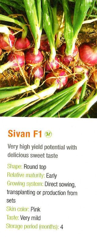 Onion Sivan.jpg