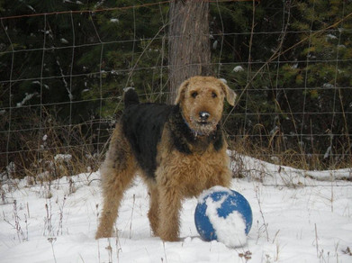 Rosie the Airedale