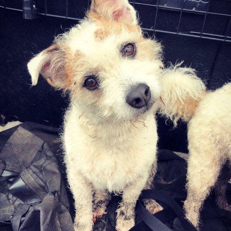 Badger - a proper little Jack Russell man, full of attitude but in true Bichon Frisé style (he's a cross!) he's frightened of his own shadow!