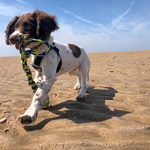 Bailey - a true Springer. Nutty and full of energy with a sweet nature.