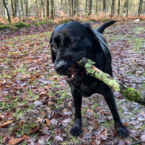 Luna - a stick loving black Labrador lady who LOVES a walk!