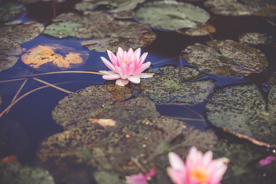 Seerose   Sommerhochzeit   Teich