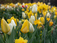 White/Yellow Tulips Roosevelt Park NYC