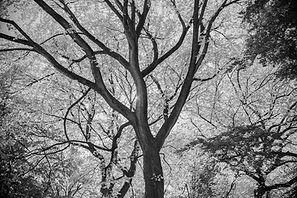 black white tree central park