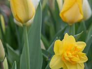 Yellow/White Tulips - Portrait