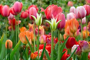 shakespeare's garden red white orange tulips central park nyc