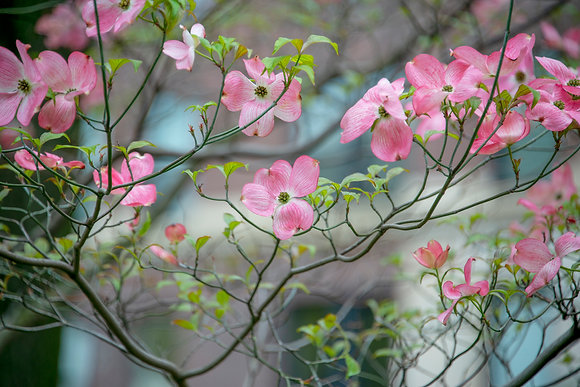 New York City - Pink Blossoms & Green Leaves on the Border of Central Park