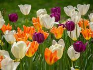 Purple/White/Orange Tulips in Roosevelt Park - NYC