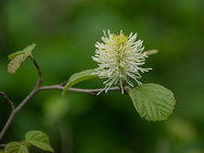 Unknown Blossom - White with Green Background