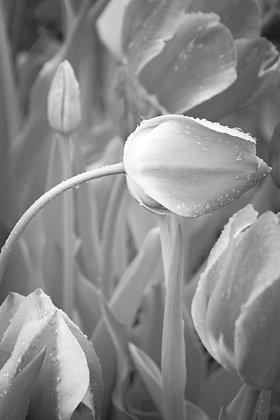 Black and WhiteTulip