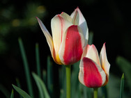 Red/White Tulips