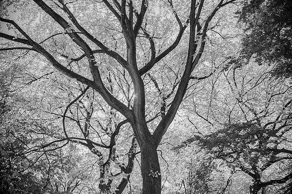 Tree in Central Park B/W