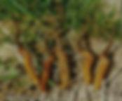 cordyceps-sinensis-11.jpg