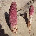 Cynomorium-Root-Extract-Powder.jpg