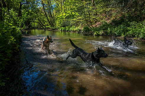 Dogs splashing in the river on a walk with Cookridge Canine Care