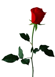 rose-png-18966.png