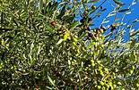 Oliven Banner 03.01..png