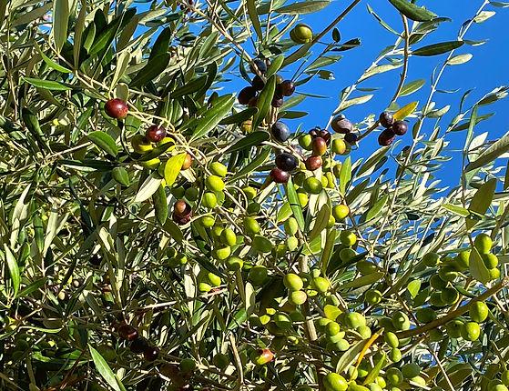 Oliven%20Banner%2003.01._edited.jpg